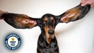 bigest earof dog