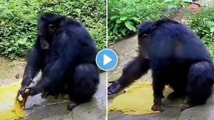 Chimpanzee washes clothes