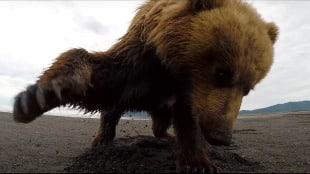 bear finds gopro