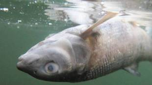 thousands-of-dead-fish-found-in-mumbai-banganga-tank-gst-97